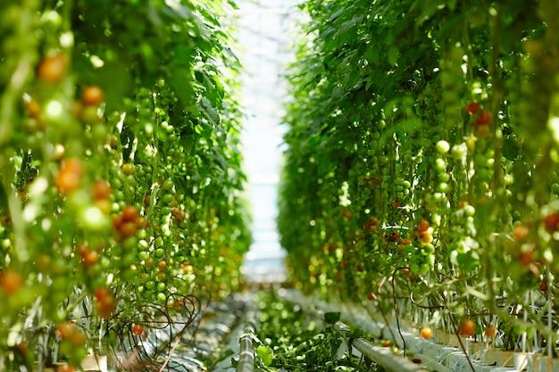 Pomodori a maturazione Foto Gratuite