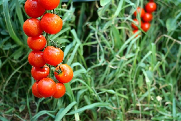 Pomodori rossi maturi che appendono sul fogliame verde, appesi sul cespuglio di pomodori nel giardino. Foto Premium