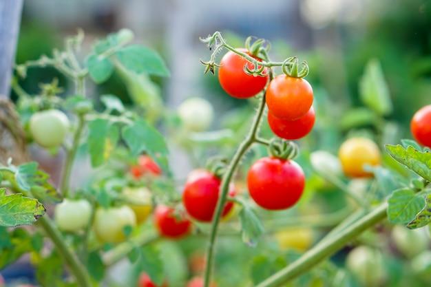 Pomodoro del ribes rosso nell'orto domestico. Foto Premium