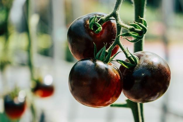 Pomodoro viola Foto Premium