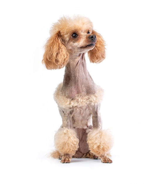 Poodle di toy groomed in posa Foto Premium