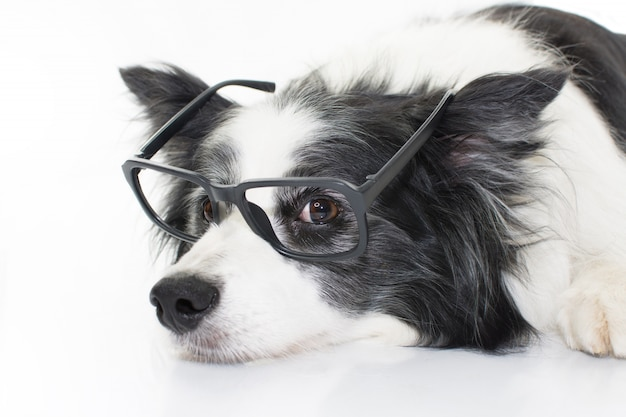 Portrait border collie dog che si trova giù indossando i vetri neri. isolato su priorità bassa bianca Foto Premium
