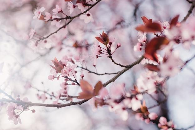 Primavera fiori di ciliegio, fiori rosa Foto Premium