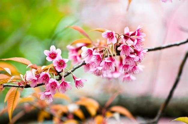 Primo piano bella primavera cherry blossom Foto Premium