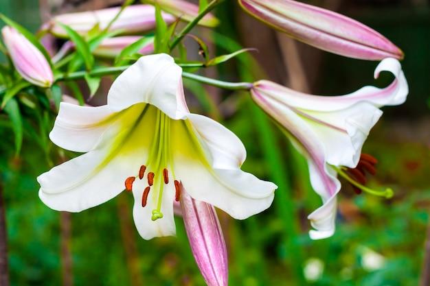 Primo piano bianco del regale del lilium Foto Premium