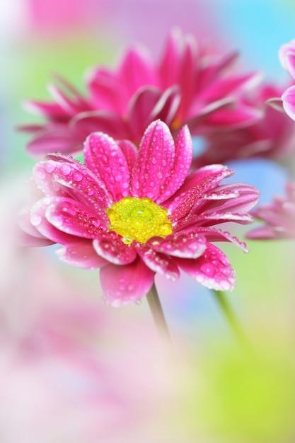 Primo piano, crisantemo Foto Premium