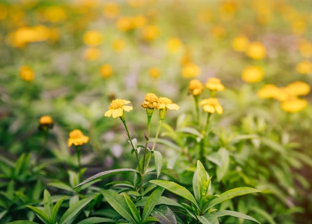 Primo piano dei fiori gialli sulla pianta del timo nel giardino Foto Gratuite