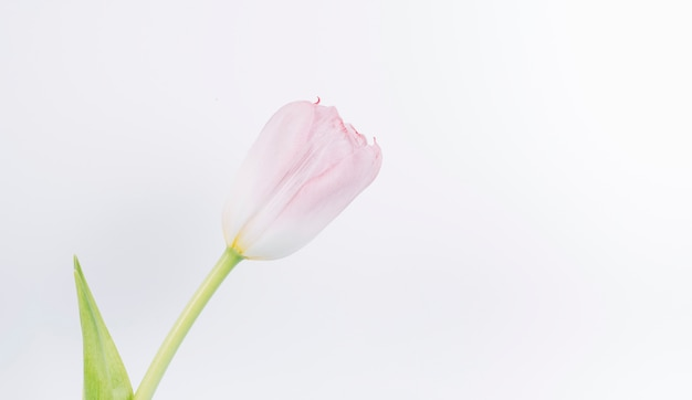 Primo piano del fiore fresco del tulipano dentellare sul contesto bianco Foto Gratuite