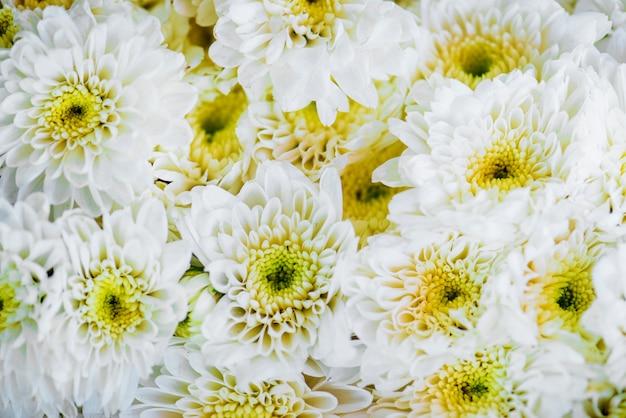 Primo piano del fondo strutturato del crisantemo bianco Foto Gratuite