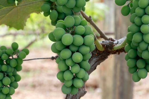 Primo piano del mazzo di uva nella vite Foto Premium