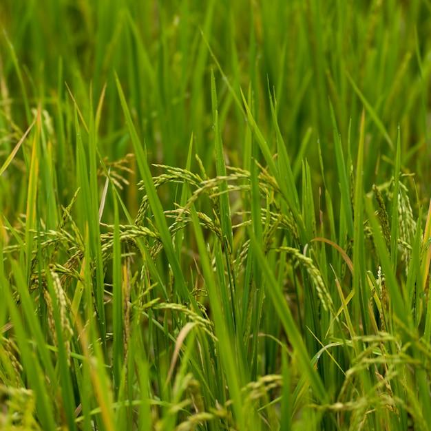 Primo piano del raccolto del riso che cresce nel campo, kamu lodge, ban gnoyhai, luang prabang, laos Foto Premium