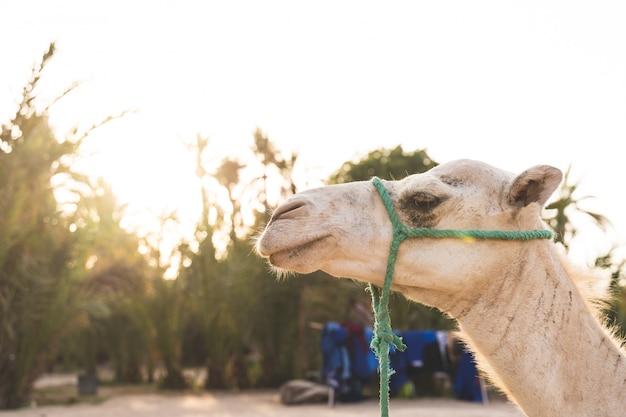 Primo piano del volto di cammello al dessert sotto il tramonto. Foto Premium