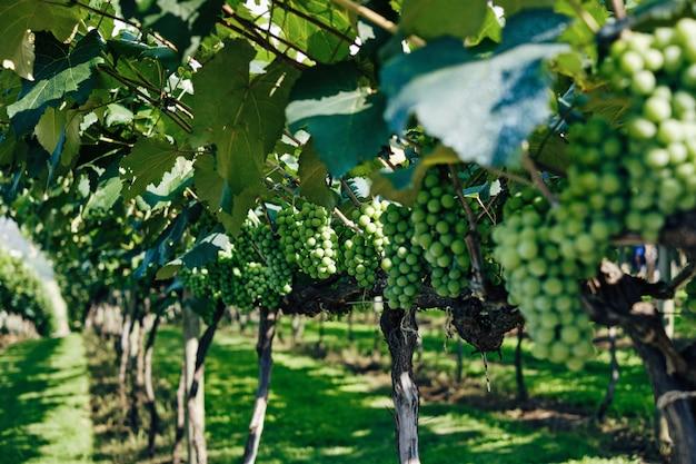 Primo piano dell'uva verde in una vigna sotto luce solare con un confuso Foto Gratuite