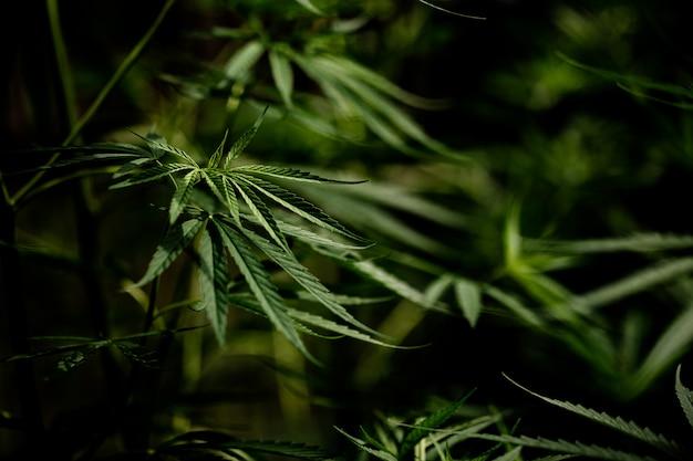 Primo piano della foglia della marijuana della cannabis Foto Gratuite