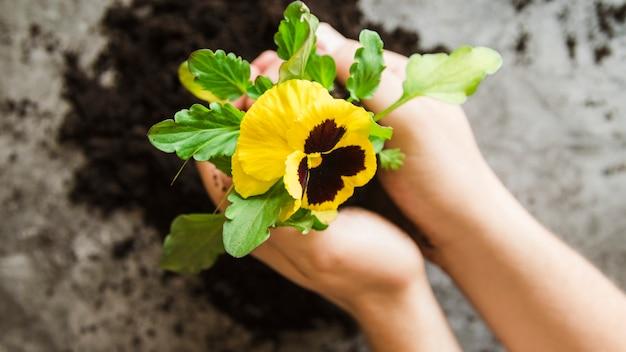 Primo piano della mano di una donna che tiene in pansy la pianta del fiore in mano Foto Gratuite