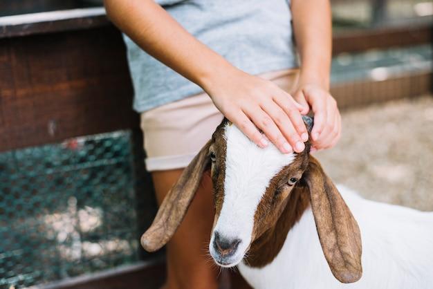 Primo piano della mano di una ragazza sulla testa della capra Foto Gratuite