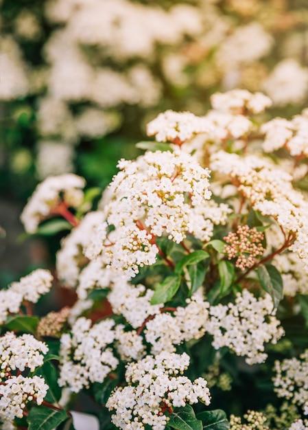 Primo piano dello spirea nuziale della corona dell'arbusto dell'arbusto Foto Gratuite