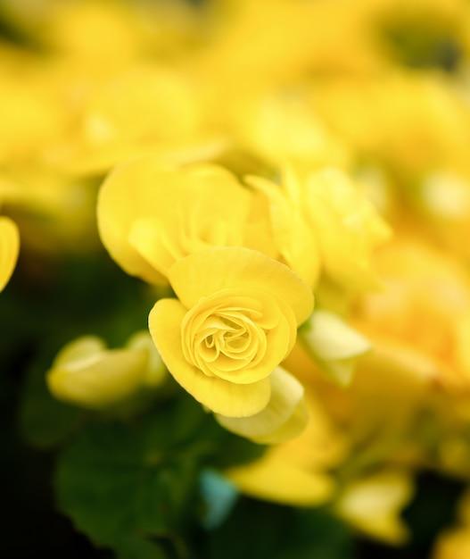 Fiori Gialli Giardino.Primo Piano Di Bei Fiori Gialli Nel Giardino Foto Premium