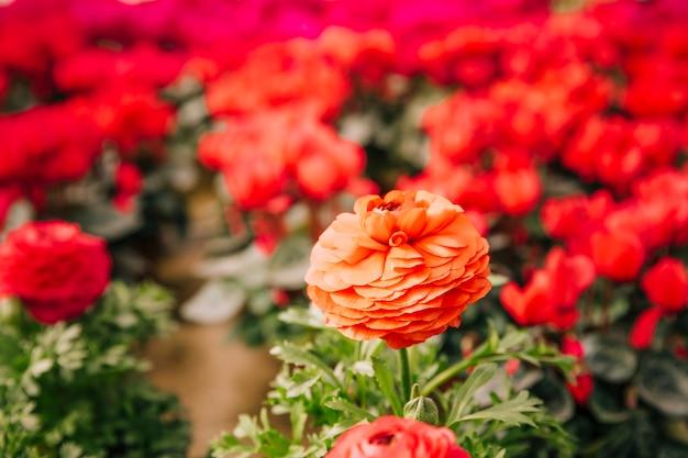 Primo piano di bel fiore di calendula contro sfondo sfocato Foto Gratuite