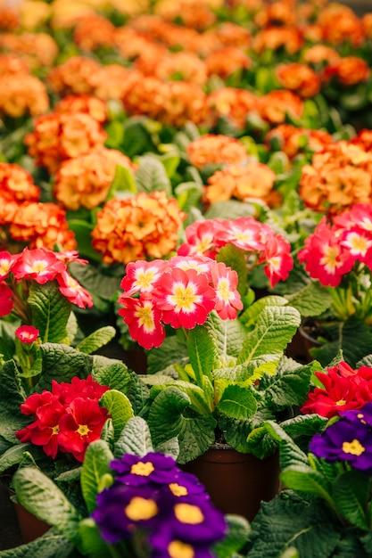 Primo piano di bellissimi fiori colorati in giardino Foto Gratuite