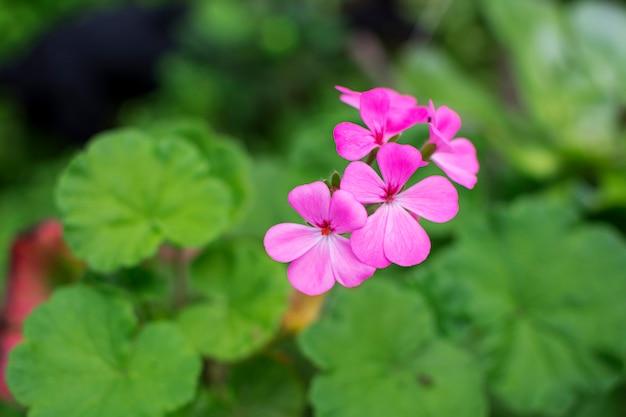 Primo piano di bello fiore rosa che fiorisce in primavera con la natura verde intorno Foto Premium