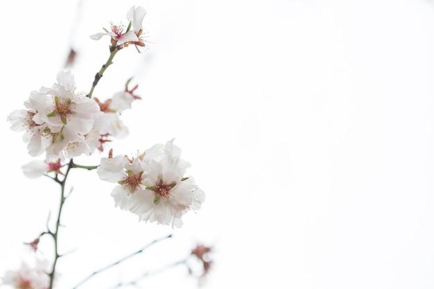 Sfondo fiori di mandorlo