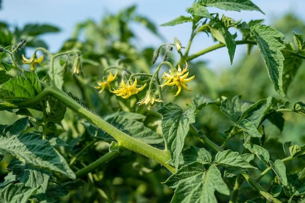 Primo piano di fioritura dei pomodori sul cibo sano del campo di estate Foto Premium