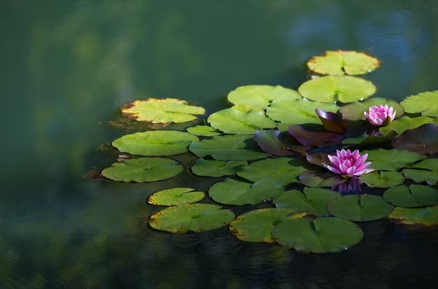 Primo piano di loti sacri su un lago sotto la luce del sole con uno sfondo sfocato Foto Gratuite