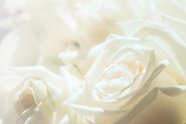 Primo piano di rosa bianca per sfondo Foto Premium
