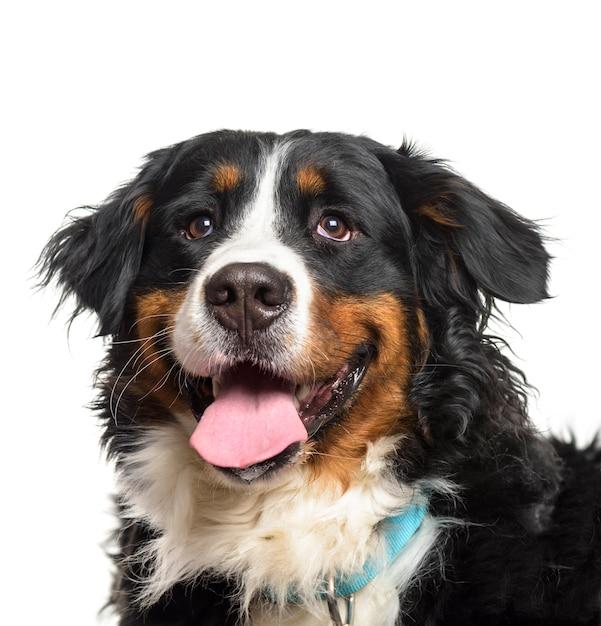 Primo piano di un ansimante bernese mountain dog Foto Premium