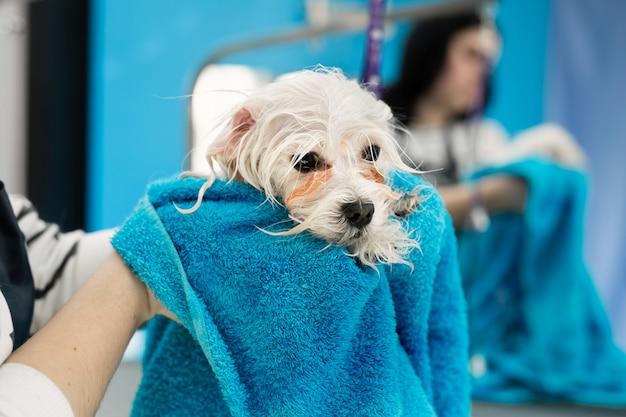 Primo piano di un bolonka bolognese bagnato avvolto in un asciugamano blu su una tavola ad una clinica veterinaria. il piccolo cane è stato lavato prima del taglio Foto Premium