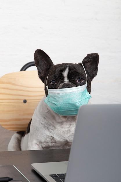 Primo piano di un bulldog francese con la maschera protettiva medica che funziona dal suo computer a casa. Foto Premium