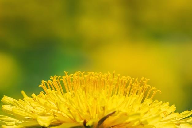 Primo piano di un dente di leone giallo di fioritura su un prato soleggiato. Foto Premium