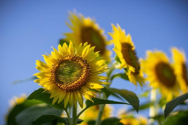 Primo piano di un girasole un giorno soleggiato con un chiaro cielo blu vago Foto Gratuite