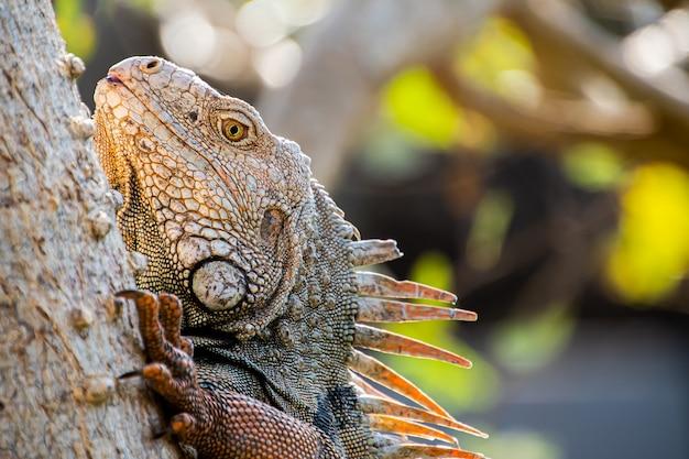 Primo piano di un'iguana nella foresta Foto Premium