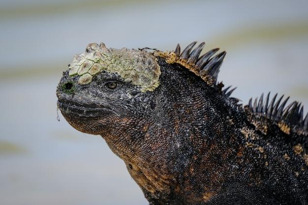 Primo piano di un'iguana nera con le punte Foto Gratuite