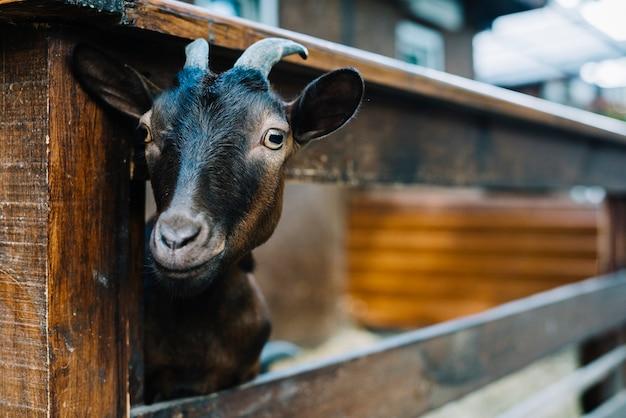 Primo piano di una capra testa di sbirciare dalla staccionata in legno Foto Gratuite