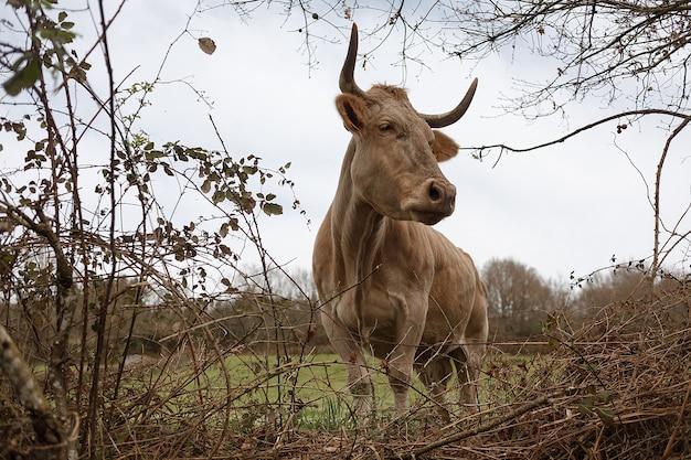 Primo piano di una mucca marrone con un numero sul suo orecchio che pasce in un prato in primavera. agricoltura, allevamento concetto di bestiame Foto Premium