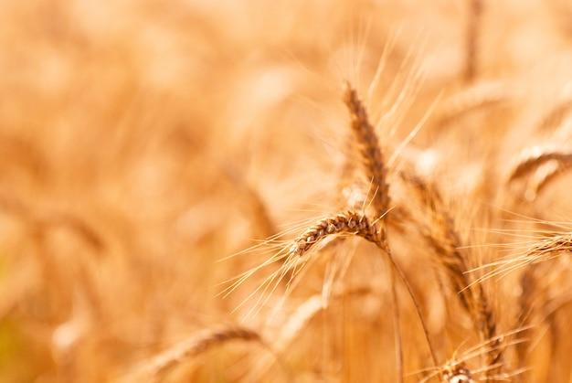 Primo piano dorato del giacimento di grano Foto Premium