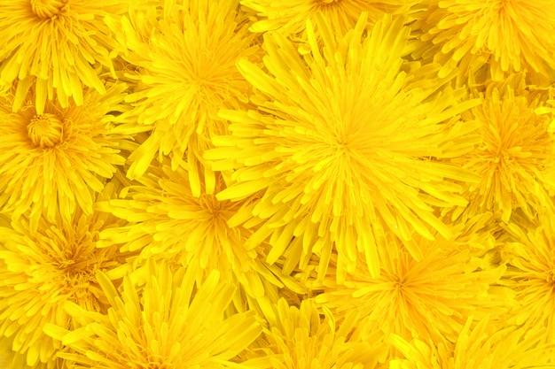 Primo piano giallo dei denti di leone, fondo, struttura Foto Premium
