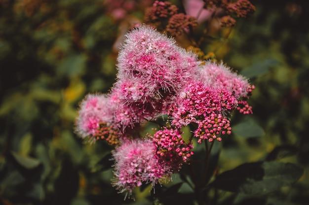 Primo piano lilla del fiore, fiori del giardino Foto Premium