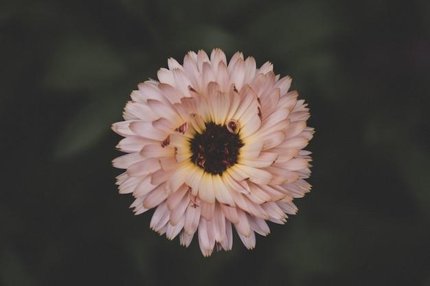 Primo piano lilla del fiore, struttura naturale Foto Premium