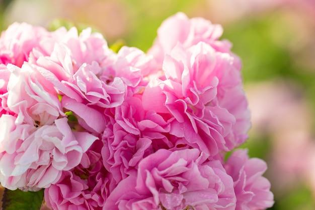 Primo piano rosa del cespuglio di rose sul fondo del campo Foto Premium