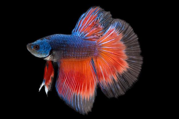 Primo Piano Sfondo Animale Acquario Rosso E Blu Combattimento Betta