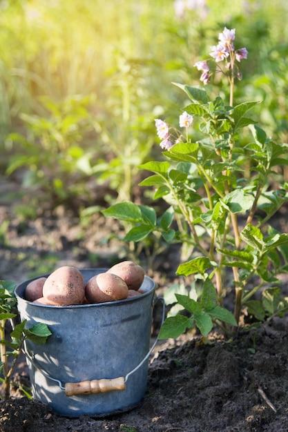 Primo raccolto di patate in giardino Foto Premium