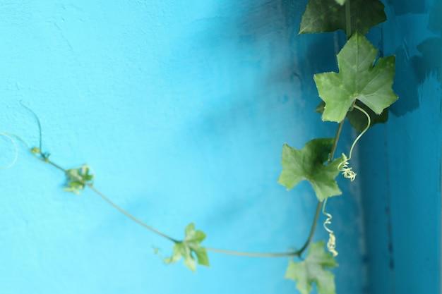 Priorità bassa blu della zucca dell'edera Foto Premium