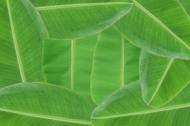 Priorità bassa di struttura fresca del foglio della banana. Foto Premium