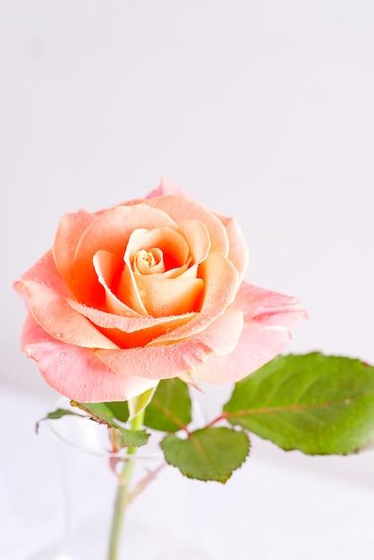 Priorità bassa festiva decorativa dalla vista a macroistruzione del fiore di rosa naturale fresco con le gocce di acqua sui petali. Foto Premium