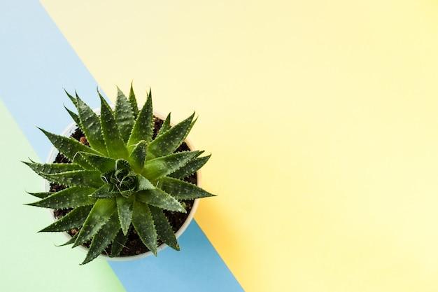 Priorità bassa gialla d'avanguardia con la pianta succulente verde sulla banda diagonale blu. vista dall'alto. Foto Premium