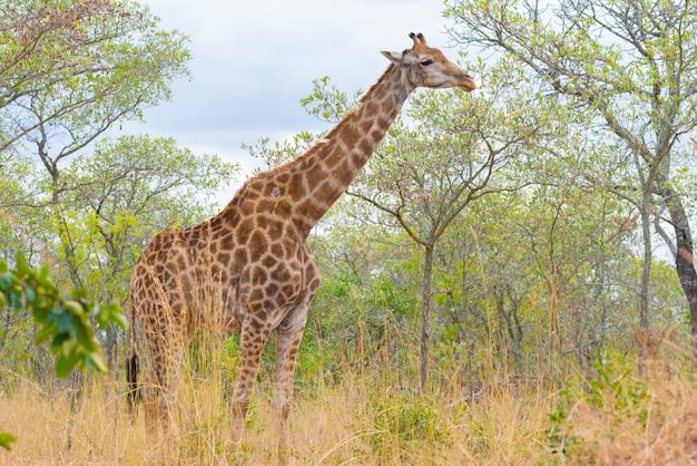 Profilo della giraffa nella boscaglia Foto Premium